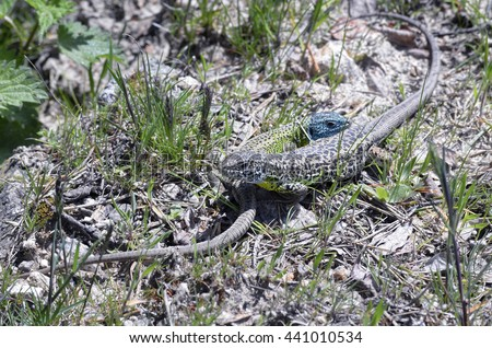 Lacerta schreiberi. Female and male iberian emerald lizard. Reptil endemic of Iberian Peninsula -Spain and Portugal-. Male has his head blue. - stock photo