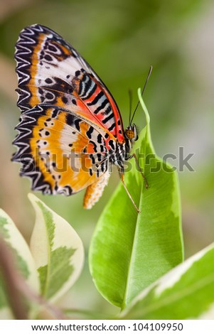 Lacewing Butterfly resting on a green leaf - stock photo