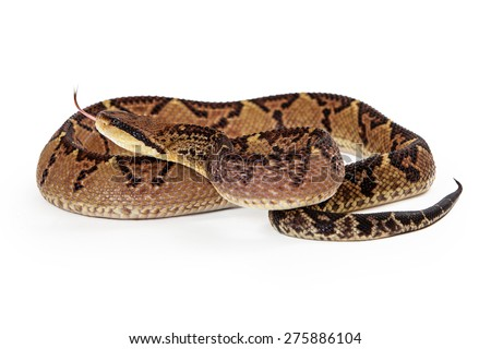 Lacheiss muta stenophrys, also known as Central American Bushmaster, a venomous pit viper snake found in Central America and South America. Snake is coiled up looking to the side with tongue out. - stock photo