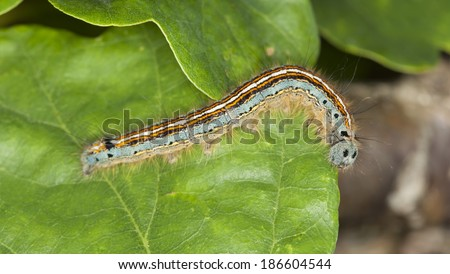 Lackey moth larva, Malacosoma neustria larva on leaf