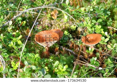 Lactarius rufus. Aspen mushrooms - stock photo