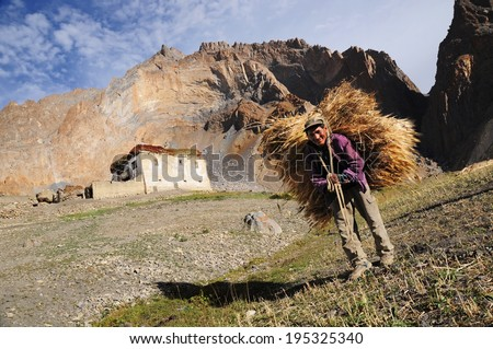 LADAKH, INDIA - SEPTEMBER 17: Man carries cereal harvest during the main harvest season on September 17, 2012. The majority of the local population are descendant of Tibetan. - stock photo