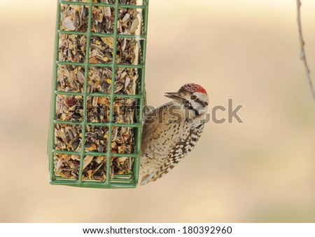 Ladder-backed Woodpecker (Picoidis scalaris) on birdfeeder designed especially for woodpeckers.  Strong backlight and very soft background. - stock photo