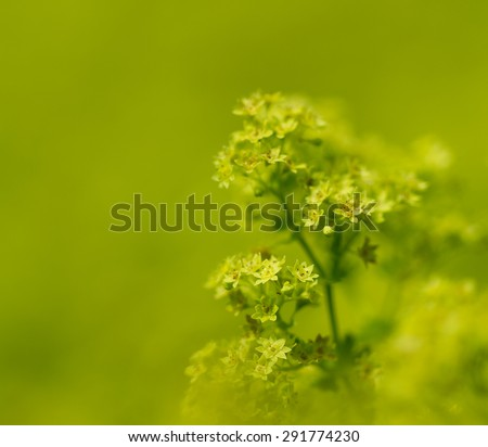 Ladies Mantle close up. Soft look. Green and yellow colors. - stock photo