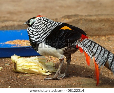 Lady Amherst's male pheasant (Chrysolophus amherstiae) in a zoo - stock photo