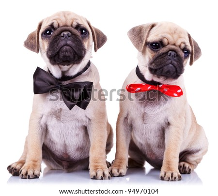 lady and gentleman pug puppy dogs sitting on white background. cute pair of mops puppies wearing nice neck bows - stock photo