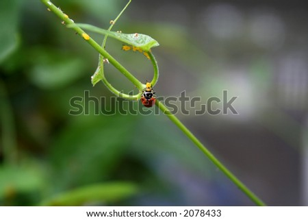 Lady bug eating an aphid - stock photo