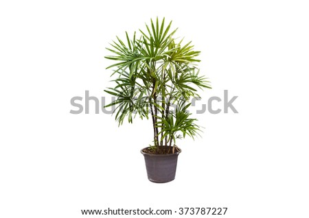 Lady palm is isolated on white background