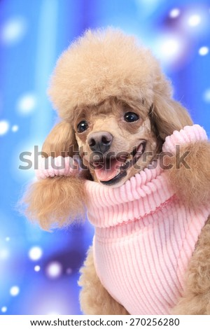 lady poodle / pink sweater / hair / ears fashion / pink ribbon / smiling / pink tongue / senior poodle / dress up dog - stock photo