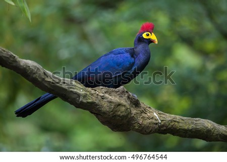 Lady Ross's turaco (Musophaga rossae), also known as the Ross's turaco. Wildlife animal.