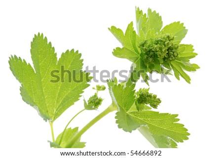 Lady's Mantle (Alchemilla) plant on white background - stock photo