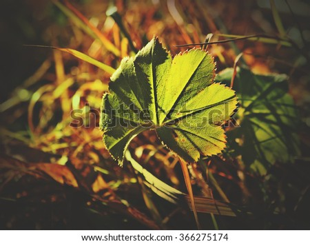 Lady's Mantle leaf. Alchemilla vulgaris. - stock photo