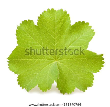 Lady's Mantle leaf isolated on white - stock photo