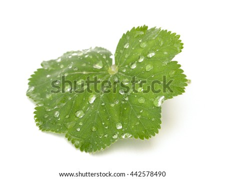 lady's mantle on a white background