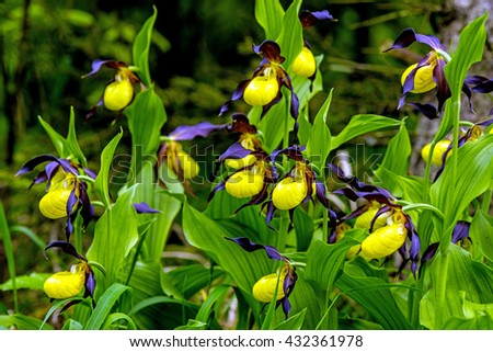 lady slipper orchid, wildflower in Germany