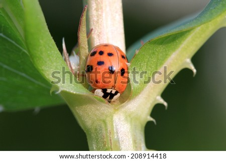 Ladybird Beetle - stock photo