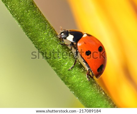 Ladybird climbing upward yellow flower green stem - stock photo
