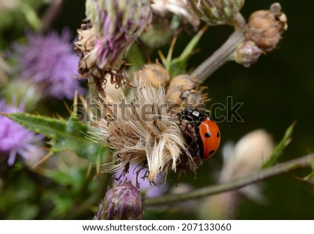 ladybird climbs in blooming thistle - stock photo