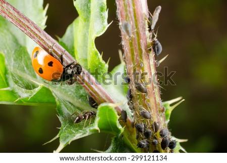 ladybird feeds on black bean aphids - stock photo