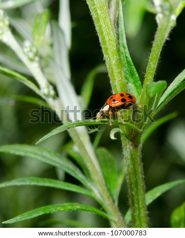 ladybird hunts aphid underneath leaf