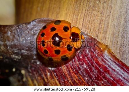 Ladybird, Ladybug (Coccinellidae) - stock photo