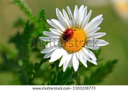 Ladybird on a beautiful daisy flower on a green meadow