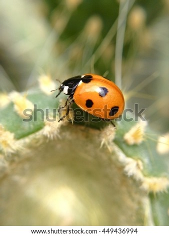 Ladybird on a Cactus
