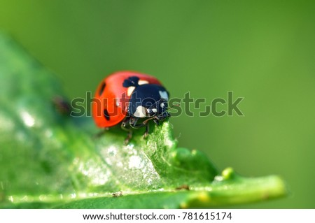 Ladybird on a leaf.