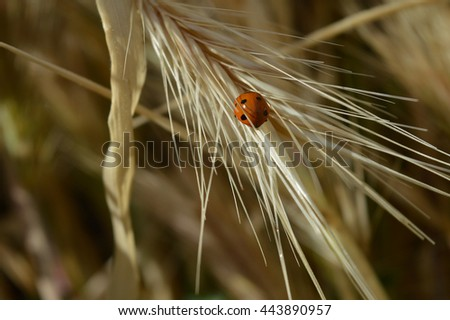 Ladybird on a wheat like plant