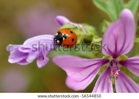 ladybird on flower - stock photo