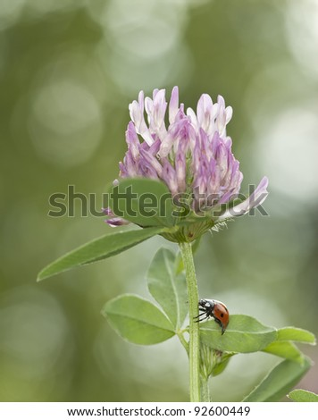 Ladybird on red clover (Trifolium repens) reflections in the background