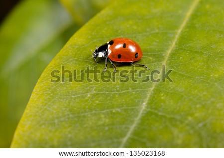 ladybird, rhododendron, focus legs - stock photo