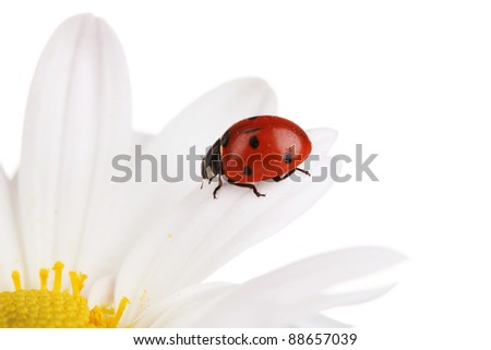 Ladybud sitting on chamomile flower isolated on white
