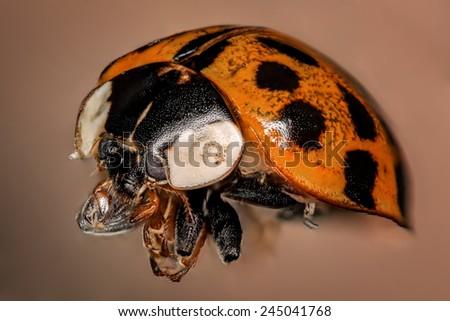 ladybug closeup - stock photo