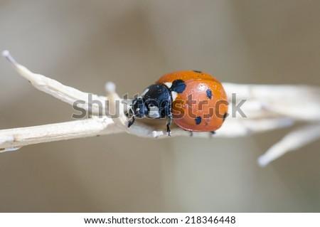 Ladybug (Coccinellidae) beetle - stock photo