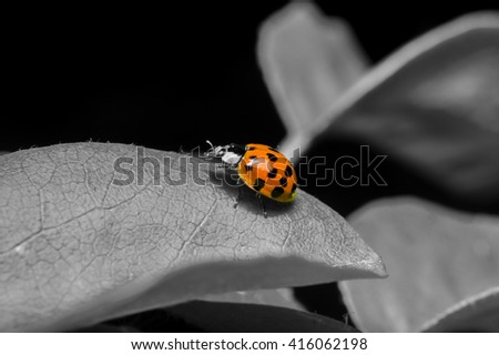 Ladybug in black and red - stock photo