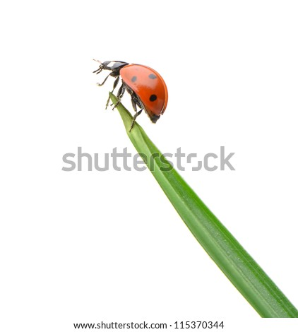 Ladybug on a green blade of grass. Isolated on white background