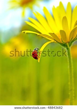 Ladybug on a yellow flower - stock photo