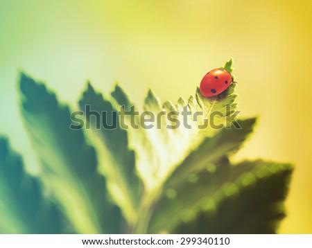ladybug on green leaf. Filtered image: warm cross processed vintage effect. - stock photo