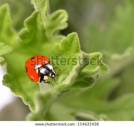 ladybug on  green leaf  geranium - stock photo
