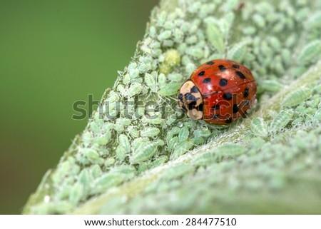 ladybug on leaf with plant louse - stock photo