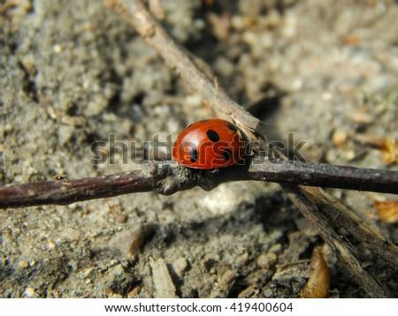 Ladybug on the ground close-up - stock photo