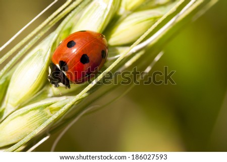 Ladybug on wheat ear with green, natural background