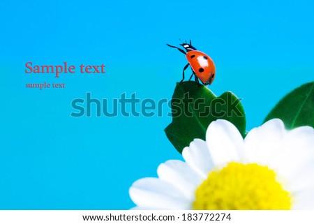 Ladybug on white camomile flowers. - stock photo