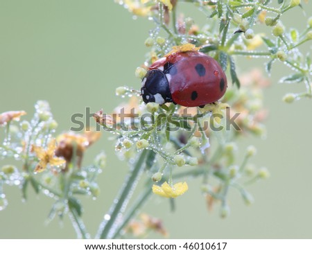 Ladybug sits on a blade of grass. Seven-spotted ladybird. Insecta / Coleoptera / Coccinellidae/ Coccinella septempunctata - stock photo