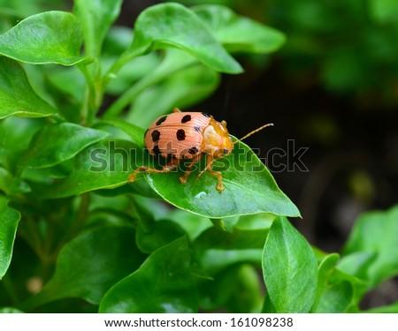 ladybug sitting on a green foliage plants, sunny day - stock photo