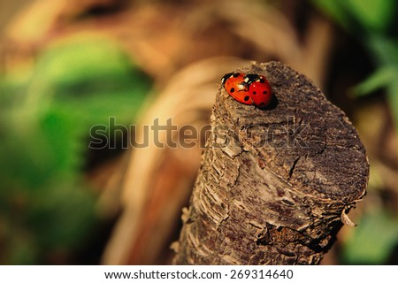 Ladybug sunlight on the field.  - stock photo