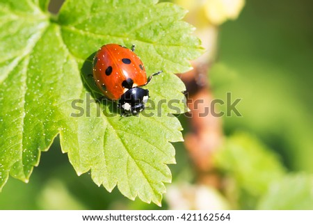 Ladybug. This is a very attractive and very useful bugs. - stock photo