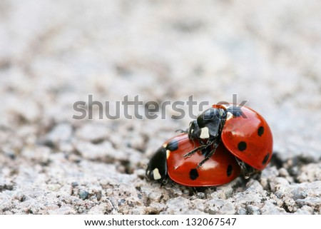 Ladybugs Mating (with shallow depth-of-field)