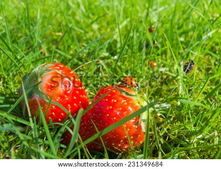 Ladybugs on strawberries in grass - stock photo